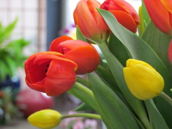 Hoa tulip Hà Lan – biểu tượng mùa xuân của xứ sở cối xay gió